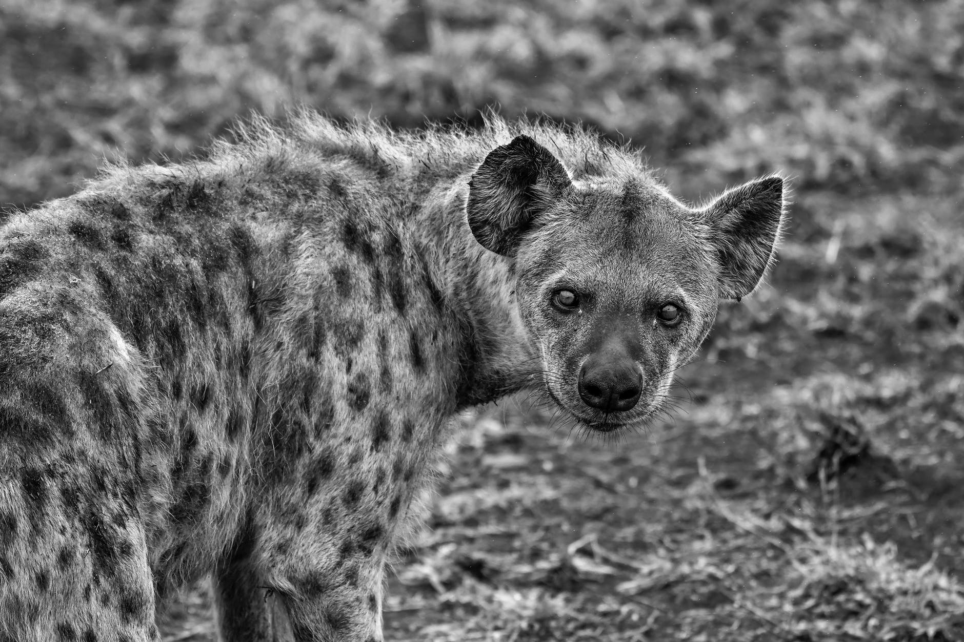 grayscale photography of hyena